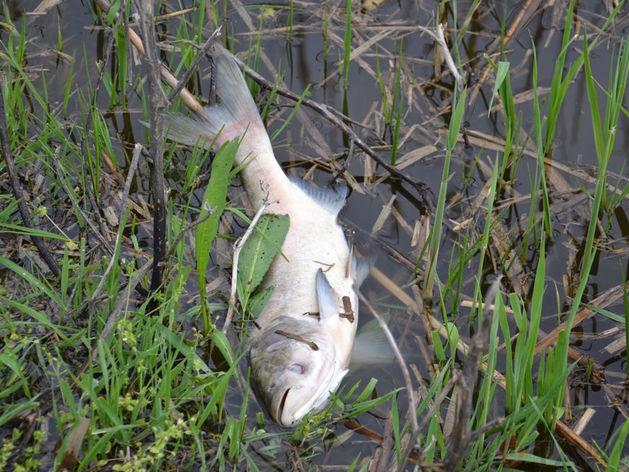 Экологи выясняют причины массовой гибели рыбы и уток в Казанке