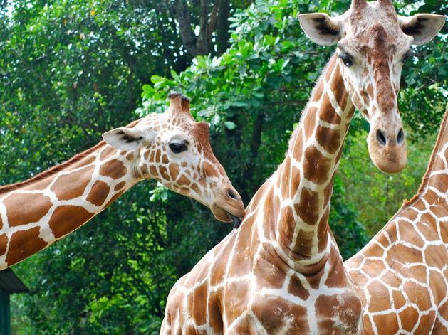 6 жирафов и 40 фламинго: Казанскому зоопарку нужно 4 млн евро на покупку животных