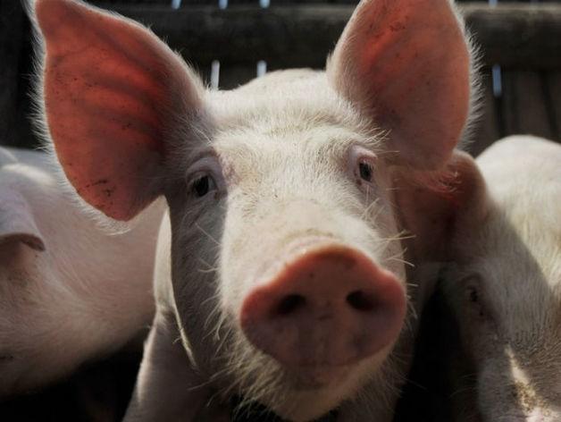 Проект свинокомплекса «Камский Бекон» заморожен из-за протестов жителей Мензелинска