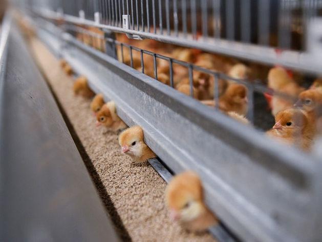 Татарстанская «Агросила» покупает птицефабрику и агрохолдинг в Чувашии
